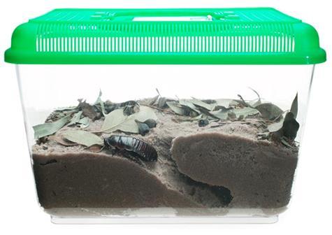 ヨロイモグラゴキブリ生態