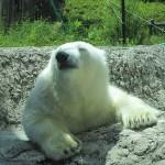 とくしま動物園・ホッキョクグマの『ポロロ』のあくび写真を公開!