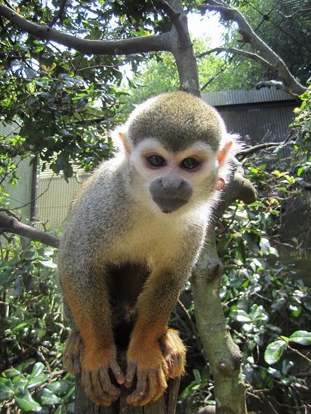 とくしま動物園サル (7)