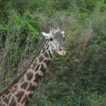 【徳島】とくしま動物園でキリンの尿をみて妻は言った。蝶って。。。