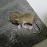 ねずみを退治しようと思って罠を設置した結果。ネズミ駆除できず。。。