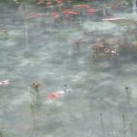 【岐阜】夕方『モネの池』に行けば駐車場が空いてる!見頃は?周辺観光もおススメ!